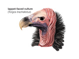 Head of Lappet-Faced Vulture (Torgos Tracheliotus)  Birds
