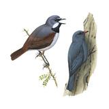 (Left) Red-Tailed Vanga-Shrike (Calicalicus Madagascariensis)