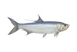 Atlantic Tarpon (Megalops Atlantica)  Fishes