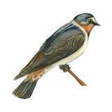 Cliff Swallow (Petrochelidon Pyrrhonota)  Birds