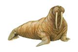 Walrus (Odobenus Rosmarus)  Mammals