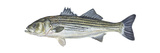 Striped Bass (Roccus Saxatilis)  Fishes
