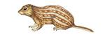 Thirteen-Lined Ground Squirrel (Citellus Tridecemlineatus)  Mammals