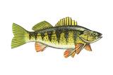 Perch (Perca Flavescens)  Fishes