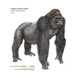 Male Western Lowland Gorilla (Gorilla Gorilla Gorilla)  Ape  Mammals