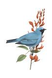Swallow-Tanager (Tersina Viridis)  Birds