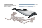 Commerson's Dolphin (Cephalorhynchus Commersonii)  Mammals