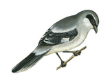 Loggerhead Shrike (Lanius Ludovicianus)  Birds