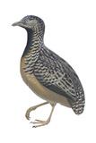 Barred or Common Button Quail (Turnix Suscitator)  Birds