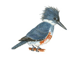 Kingfisher (Megaceryle Alcyon)  Birds