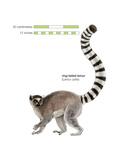 Ring-Tailed Lemur (Lemur Catta)  Mammals