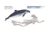 Harbour Porpoise (Phocoena Phocoena)  Mammals