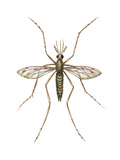 Anopheles Mosquito (Anopheles Quadrimaculatus)  Insects