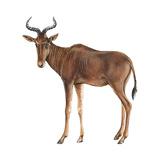 Hartebeest (Alcelaphus Caama)  Mammals