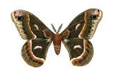 Cecropia Moth (Samia Cecropia)  Emperor Moth  Insects