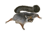 Giant Flying Squirrel (Petaurista)  Mammals