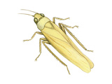 Rose Leafhopper (Typhlocyba Rosae)  Insects