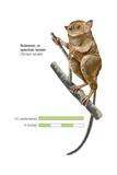 Sulawesi Tarsier or Spectral Tarsier (Tarsius Tarsier)  Primate  Mammals