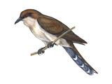 Black-Billed Cuckoo (Coccyzus Erythropthalmus)  Birds