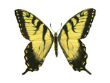 Tiger Swallowtail (Papilio Glaucus)  Insects