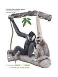 Male and Female Chinese White-Cheeked Gibbon (Hylobates Leucogenys)  Ape  Mammals