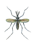 Aedes Mosquito (Aedes Aegypti)  Yellow Fever Mosquito  Insects