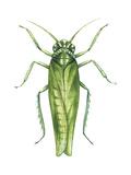 Potato Leafhopper (Empoasca Fabae)  Insects