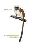 Cotton-Top Tamarin (Saguinus Oedipus)  Monkey  Mammals
