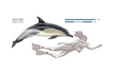 Common Dolphin (Delphinus Delphis)  Mammals