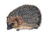 Hedgehog (Erinaceus Europaeus)  Mammals