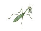 European Mantis (Mantis Religiosa)  Insects