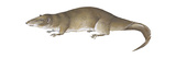 Giant Otter Shrew (Potamogale Velox)  Mammals