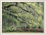 Live Oak Tree Draped with Spanish Moss, Savannah, Georgia, USA Photo encadrée par Adam Jones
