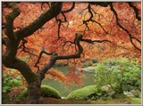 Japanese Maple, Portland Japanese Garden, Oregon, USA Photo encadrée par William Sutton