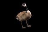 A Male Richardson's Cackling Goose  Branta Hutchinsii  at Sylvan Heights Bird Park