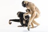 Endangered Pileated Gibbons  Including an Eight Month Old Infant