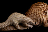 A Vulnerable Adult Female White Bellied Pangolin with Her Baby  at Pangolin Conservation