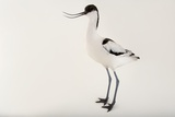 A Pied Avocet  Recurvirostra Avosetta  at Sylvan Heights Bird Park