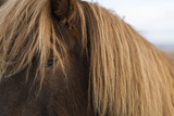 Close Up of Icelandic Horse Near Thingvellir National Park in Western Iceland