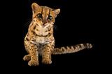 An Oncilla  Leopardus Tigrinus Pardinoides  at Parque Jaime Duque