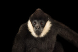 A Male  Critically Endangered Northern White Cheecked Gibbon