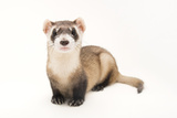 An Endangered Black Footed Ferret  Mustela Nigripes  at the Toronto Zoo