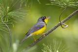 The Canada Warbler  Cardinella Canadensis  Perching on the Branch of a Tree