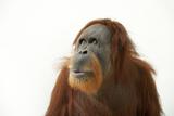 A Critically Endangered Female Sumatran Orangutan  Pongo Abelii  at the Gladys Porter Zoo
