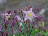 Close Up of Columbine Flowers