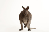 A Red-Necked Wallaby  Macropus Rufogriseus  at the Gladys Porter Zoo