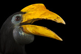 A Female Wrinkled Hornbill  Aceros Corrugatus  at the Houston Zoo