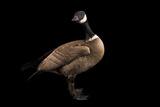 A Male Aleutian Cackling Goose  Branta Hutchinsii Leucopareia