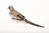 A Namaqua Dove  Oena Capensis  at the Sedgwick County Zoo