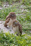 A Pair of Burrowing Owls  Athenhene Cunicularia  in Sandy Burrow
